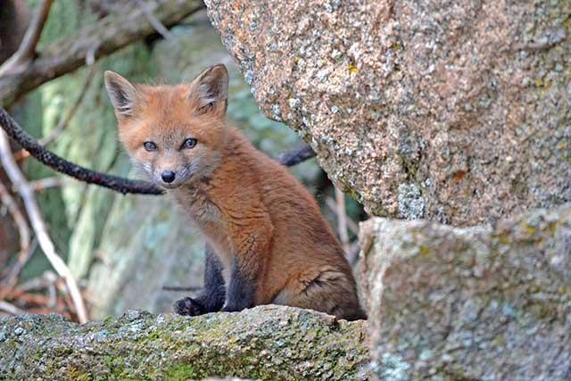 ごんぎつね 手袋を買いに Gon, the Fox: Buying Some Glovesの英語を聴いて読む