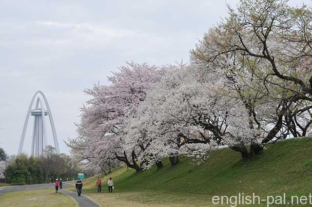 Kisogawa tsudumi, cherry trees in Aichi prefecture in 2016