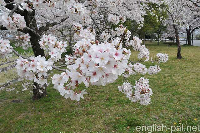 Cherry_Trees_2363