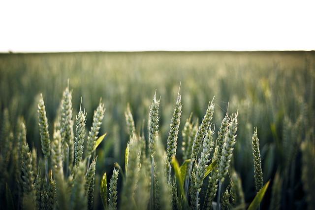 wheat-336520_640