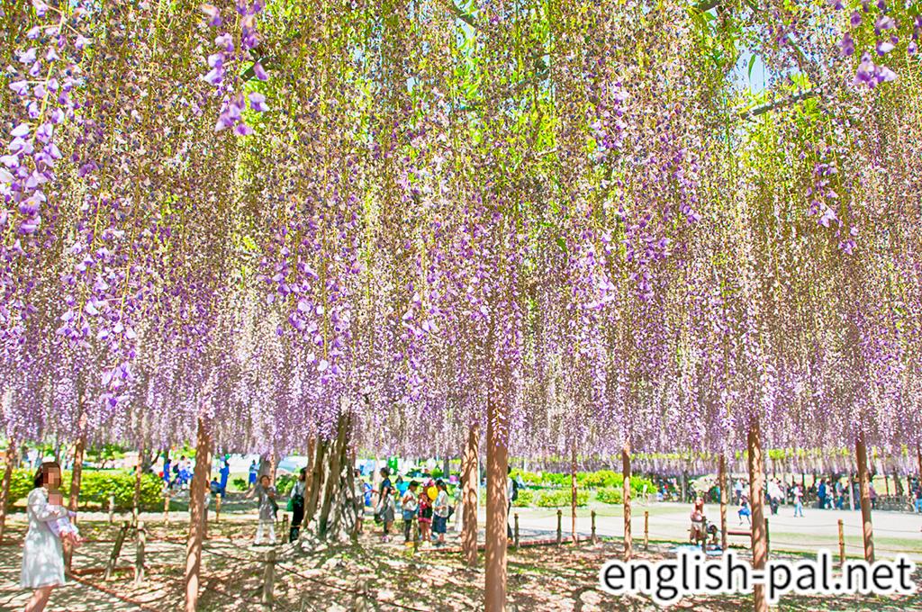 Owari Tsushima Wisteria Festival